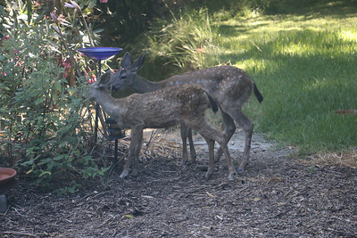 Two fawns eating sage