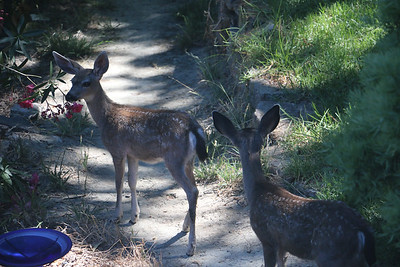Two fawns on path