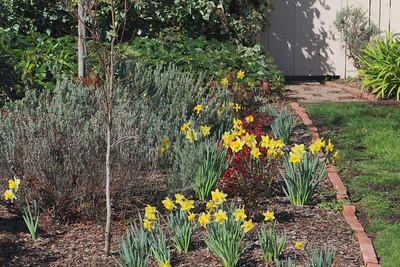 Daffodils in morning sunshine