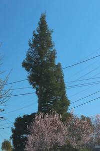 Blooming trees under pine tree