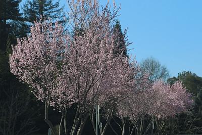 Row of blooming plum trees
