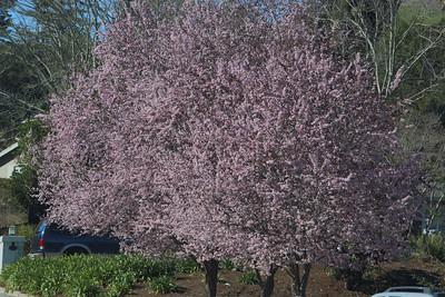 Pink plum trees in bloom