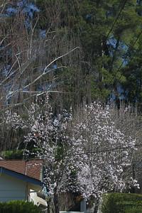 Blooming plum tree