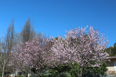 Blooming plum trees