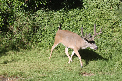 Large buck on lawn