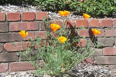 California Poppy in front of brick wall
