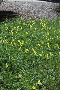 Oxalis on the lawn - western view