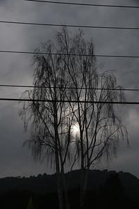 Birch trees against cloud-shrouded sun