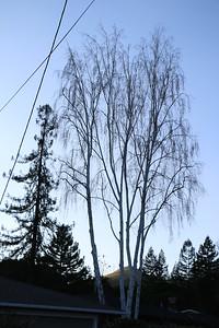 Birch tree at twilight