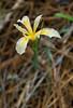 Hartweg's iris...(Sierra iris)...Iris hartwegii found Butterfly Valley Botanical Area