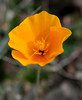 A California Poppy - Table Mountain...<br /> <br /> The details just really come out on this one...I found it really fascinating...