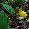 Yellow Lady's Slipper Orchid