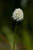 Polygonum bistortoides, Western Bistort or Meadow Bistort