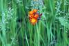Orange Hawkweed<br /> Mio, Michigan,  June 8, 2007