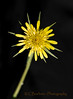 Yellow Salsify or Goat's Beard