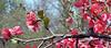 Flowering Quince - Morton Arboretum
