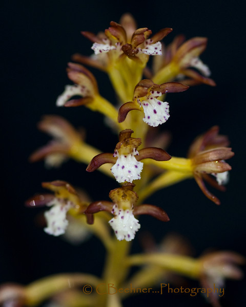 Spotted Coralroot, Corallorhiza maculata in the mist...