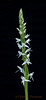 Sierra bog orchid; Platanthera dilatata leucostachys, a stalk of blooms.