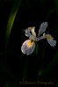 Oregon Coast Wild Iris
