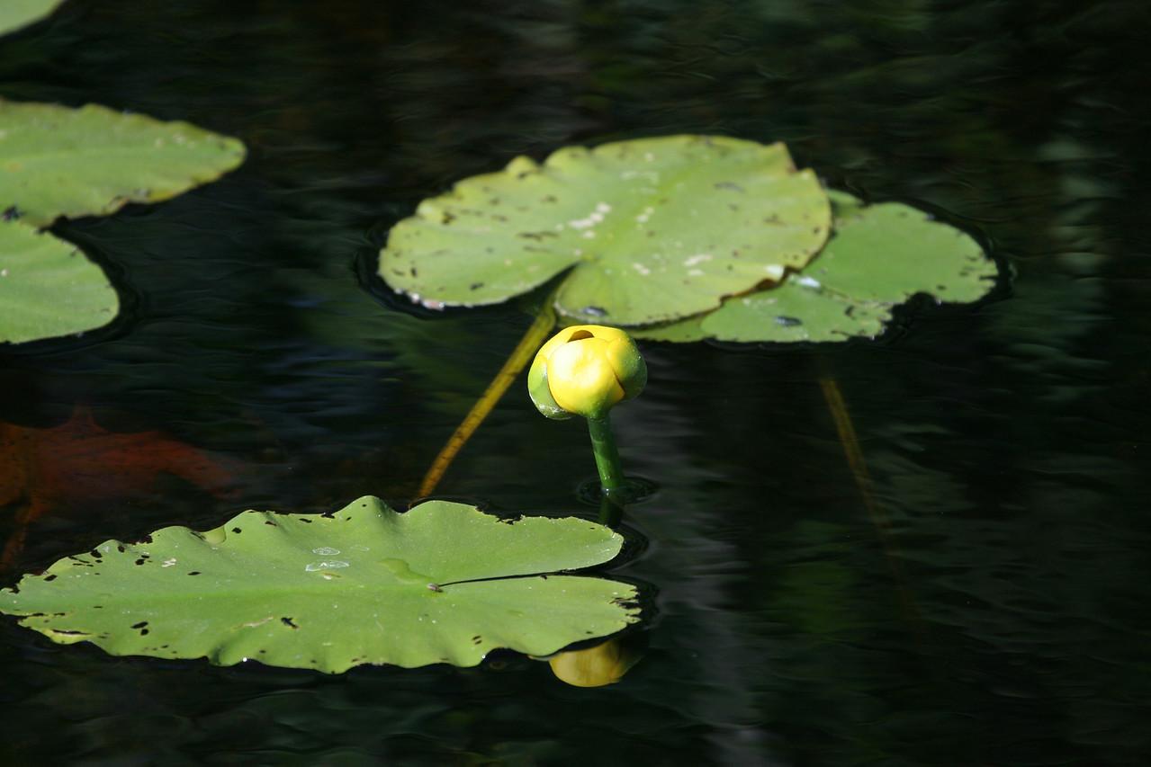 Yellow Pond Lily<br /> Mio, Michigan, June 7, 2007