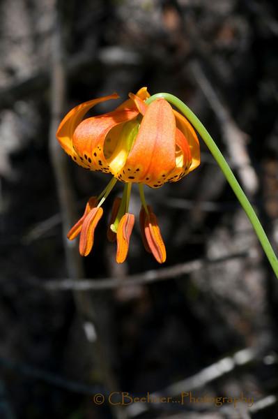 Top of the Bog...  Shasta Tiger Lily, Lilium pardalinum ssp. shastense, Butte, CA