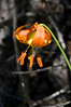 Top of the Bog...  Shasta Tiger Lily, Lilium pardalinum ssp. shastense, Butte, CA