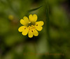 Primrose Monkeyflower, Mimulus primuloides  Benth.  var. primuloides, Butte, CA