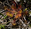 9-1-2010…  Sticky Situation…Sundew...Drosera rotundifolia, Round Leaved Sundew<br /> <br /> Another one from the bog series…a Sundew uses those sticky hairs on its leaves to trap insects.  While the Cobra plants can be seen all over the meadow, these little guys were really hard to find.  That is until you realize what to look for and where, then you find they too are wide spread in the bog.<br /> <br /> They are small, 3 to 6 inches across, low to the ground and hidden in the grasses.  They grow in only the wettest areas of the bog, in the shallow flowing or standing water.  This one was in about ½ inch of water suspended on the dead grass leaves.  A close look at the leaf, bottom center of photo reveals a few insects have fallen prey…