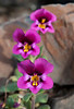 Kellogg's Monkeyflower Trio - Table Mountain