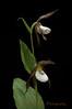 Mountain Lady's Slipper, Cypripedium montanum, twins...