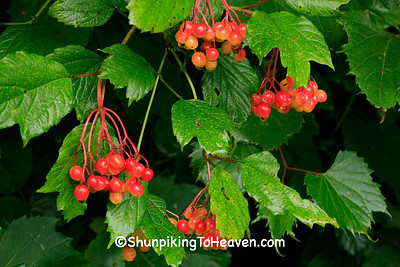 Highbush Cranberries, Dane County, Wisconsin