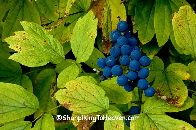 Blue Cohosh Fruit (Seed), Sauk County, Wisconsin