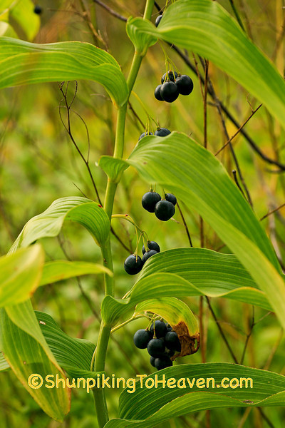 Solomon's Seal with Fruit in Autumn, Dane County, Wisconsin