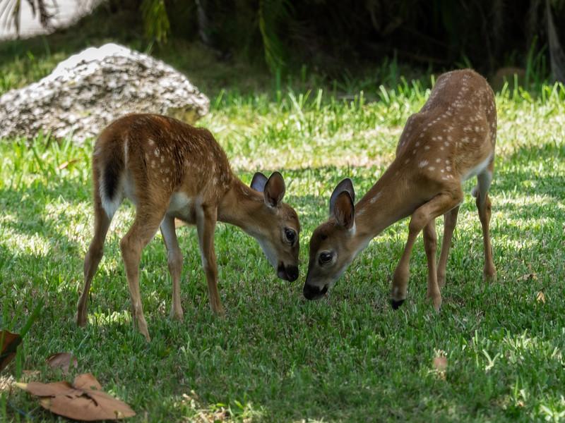 Keys Deer