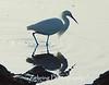 Snowy egret fishing the tide pools off the California coast.