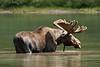_ASP3972 Glacier Bull Moose