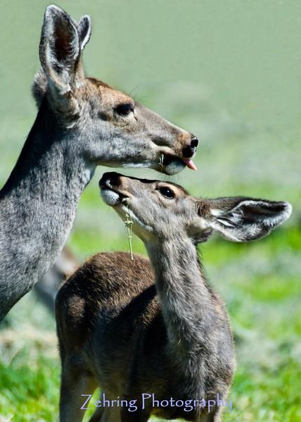 A female mule deer and her doe