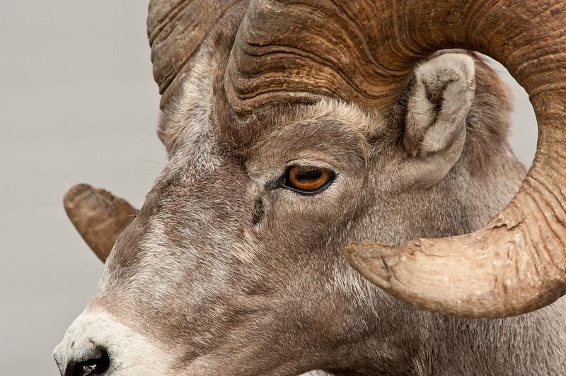 _ASP1453 Bighorn Ram