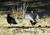 A pair of wild turkeys strut their stuff in brush of the California Sierra mountains.