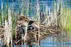 Common Loon on Nest (horizontal)