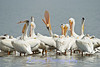 A flock of American pelicans congregate in the shallows of Washoe Lake, NV.