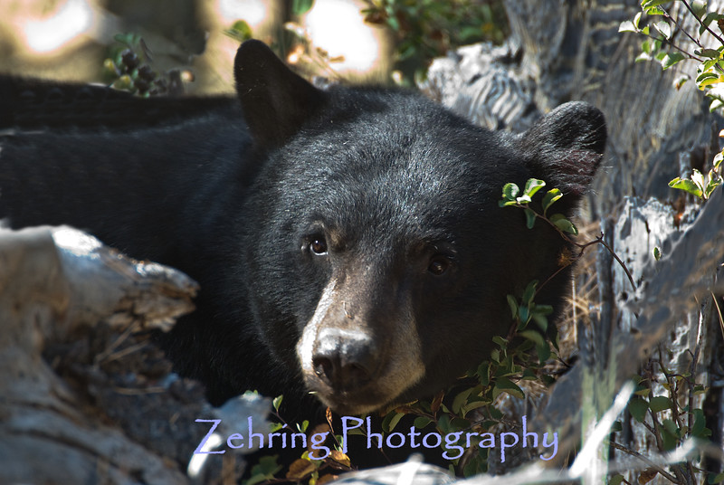 Black bear caught in the  morning light near the shoreline of Lake Tahoe, CA