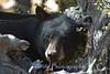 Black bear caught in the  morning light near the shoreline of Lake Tahoe, CA