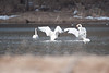Trumpeter Swans Mating Dance