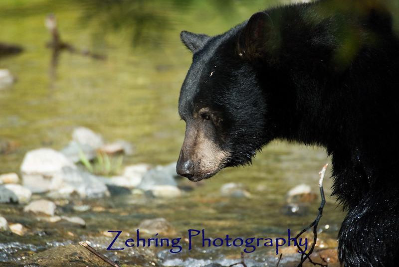 Black Bear looking for salmon during the spawning run at Taylor creek , Lake Tahoe, CA