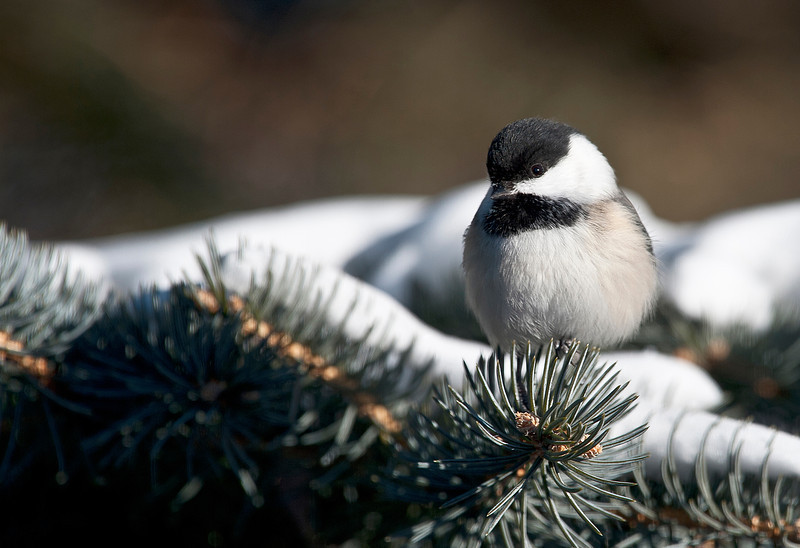 _ASP1794 Black Capped Chickdee
