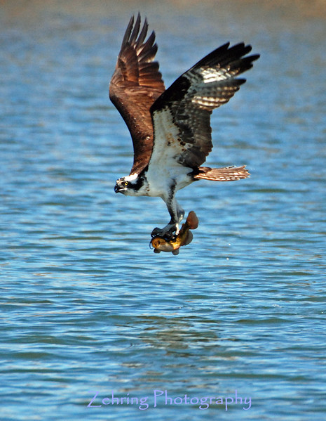 Osprey with catfish in it's talons.