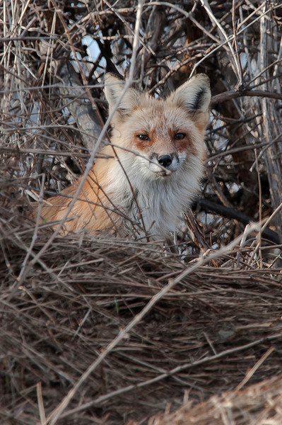 Red Fox (Female)