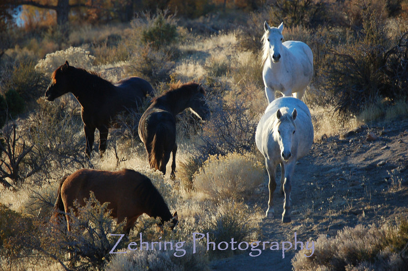 In the deserts of Nevada you can still experience the beauty of viewing free roaming wild mustangs.
