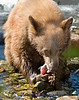Bear Cub Feeding On Salmon at Taylor Creek Lake Tahoe CA